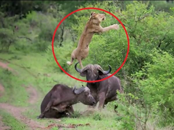 Phát hiện 'cô vợ' bị sư tử tấn công, trâu rừng không màn nguy hiểm chạy ào tới húc văng kẻ thù lên không trung