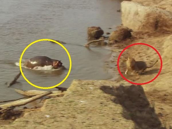 Uống nước trong lãnh địa của đàn hà mã, 'CHÚA SƠN LÂM' cũng phải bỏ của chạy lấy người khi bị truy đuổi