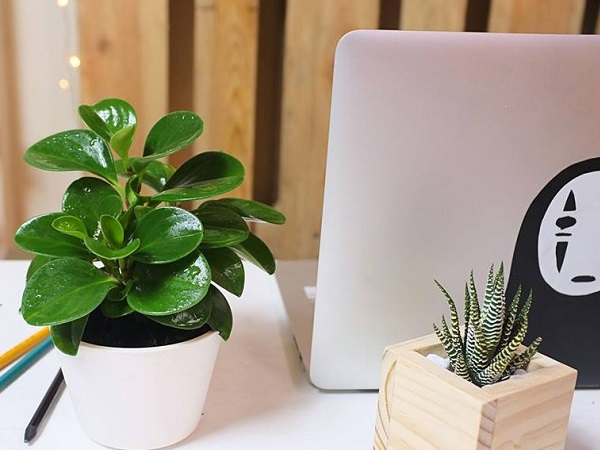 4 loại cây có khả năng hút bức xạ cực tốt, dân văn phòng phải có 1 cây hông còn lo nhiễm khí, sóng độc hại