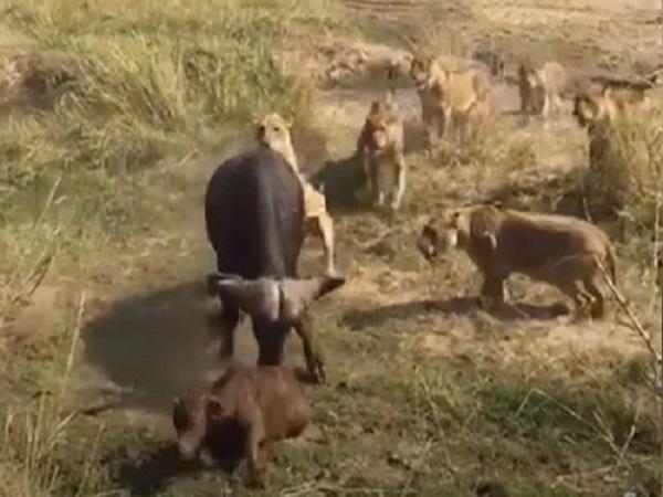 Cuộc ĐỐI ĐẦU kỳ lạ 1 CHỌI 10, trâu rừng chống trả quyết liệt khiến đàn sư tử 'MUỐI MẶT'