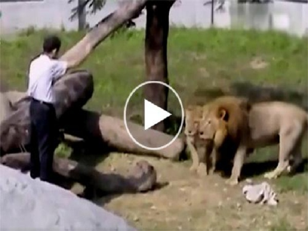 Người đàn ông liều lĩnh 'THÔI MIÊN' sư tử, bị tấn công vẫn không bỏ cuộc, nguyên nhân thật sự khiến nhiều người SỐC NẶNG