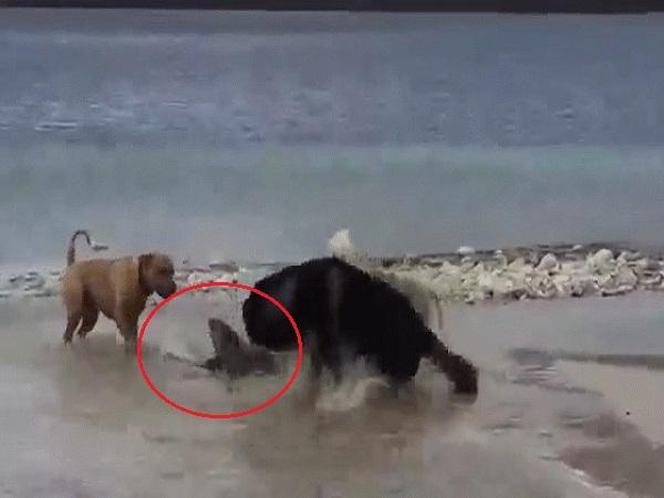 Số phận RÁI CÁ khi phải PHÒNG THỦ và lên kế hoạch thoát khỏi 4 con chó nhà và cái kết