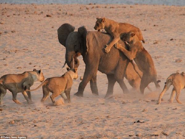 Vừa sinh xong, mẹ con nhà voi bị bầy sư tử HÁU ĐÓI tấn công và phá giải cứu XUẤT THẦN