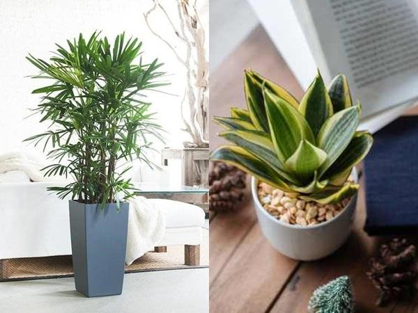 5 loại cây cảnh có khả năng hút bức xạ, chất độc hại giúp ngăn ngừa ung thư