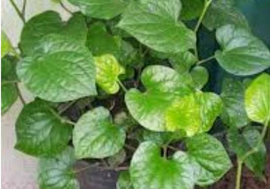 5 loại rau lấy cành cắm vào đất thôi cũng lớn phổng phao, sau 1 tháng cả nhà ăn không hết - Ảnh 2