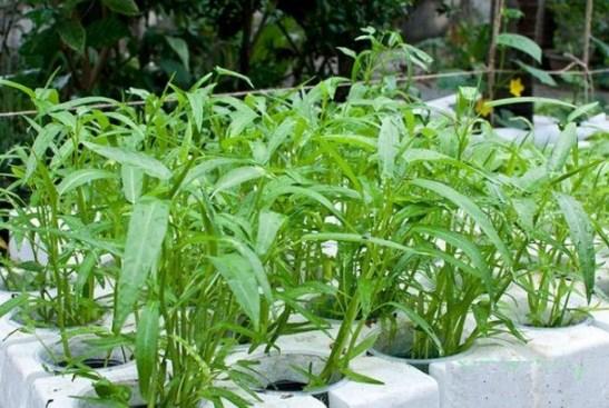 5 loại rau lấy cành cắm vào đất thôi cũng lớn phổng phao, sau 1 tháng cả nhà ăn không hết - Ảnh 3