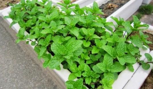 5 loại rau lấy cành cắm vào đất thôi cũng lớn phổng phao, sau 1 tháng cả nhà ăn không hết - Ảnh 4