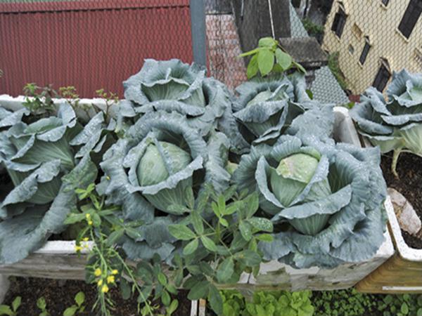 Mẹo trồng bắp cải bằng thùng xốp cực đơn giản, ăn quanh năm không hết