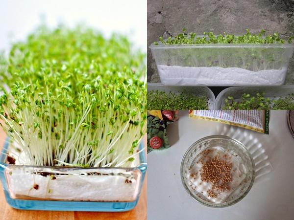 Cách trồng rau mầm tại nhà cực đơn giản lại tiết kiệm chi phí, tha hồ có rau sạch ăn cả tuần
