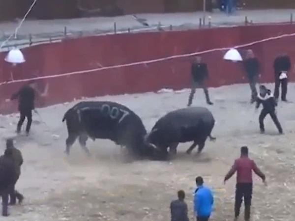 Kinh hãi cảnh người đàn ông bị kẹp giữa 2 con trâu và cái kết bất ngờ