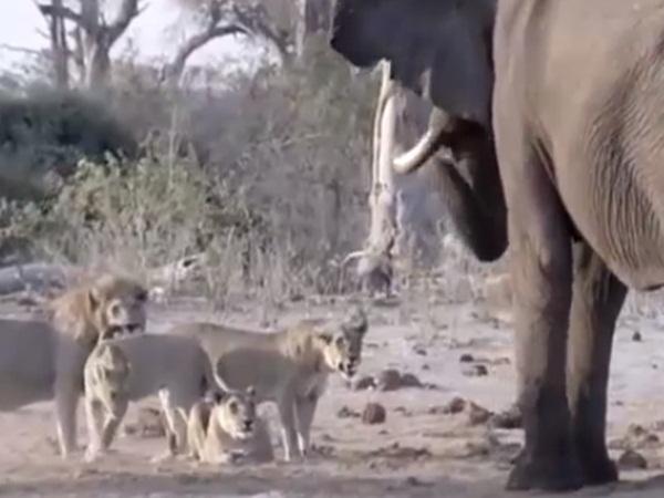 Voi rừng bị hơn 30 con sư tử vây bắt, truy đuổi và cái kết ngỡ ngàng