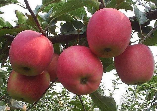 Ăn táo có tốt không? Câu trả lời của là CÓ nếu bạn biết 6 điều CẤM KỴ này và 4 tác dụng phụ khi ăn quá nhiều loại quả này - Ảnh 4