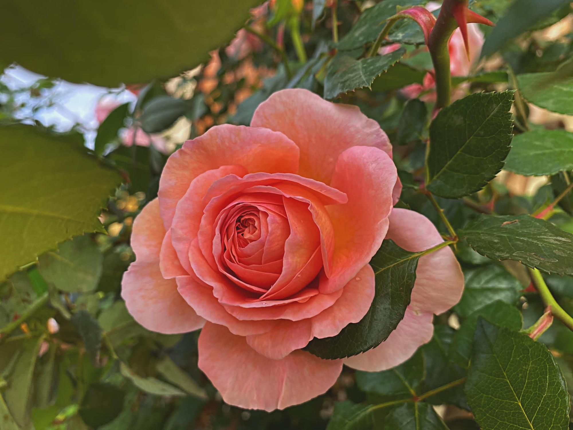 Bí quyết cực dễ để chăm giàn hồng leo nở hoa ngút ngàn, đẹp như trời tây - Ảnh 4