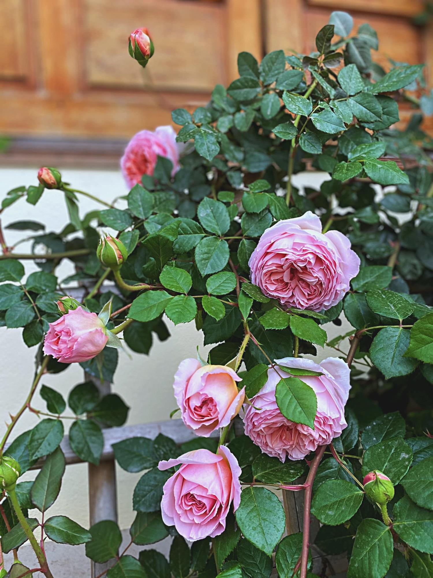 Bí quyết cực dễ để chăm giàn hồng leo nở hoa ngút ngàn, đẹp như trời tây - Ảnh 7