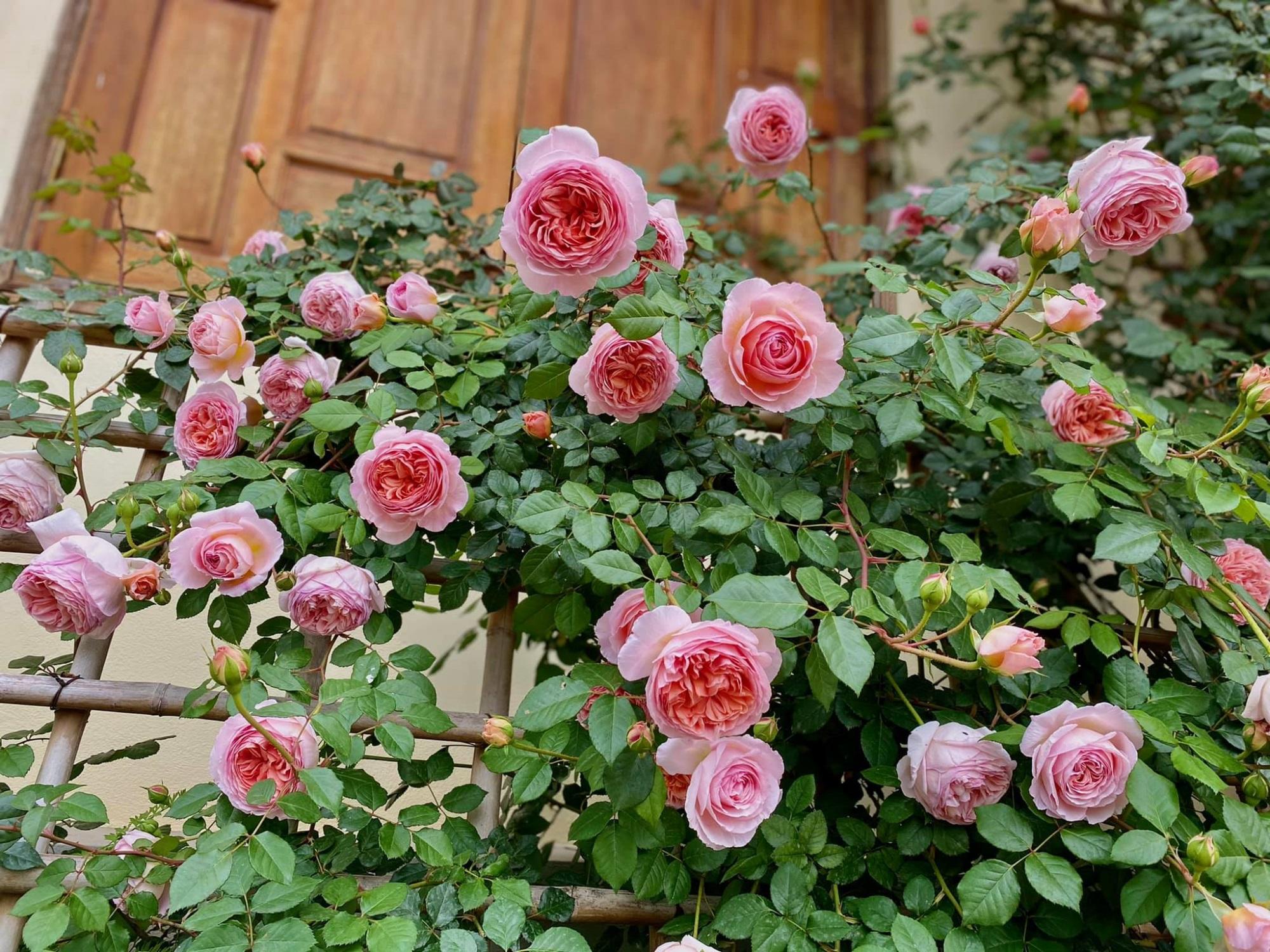Bí quyết cực dễ để chăm giàn hồng leo nở hoa ngút ngàn, đẹp như trời tây - Ảnh 3