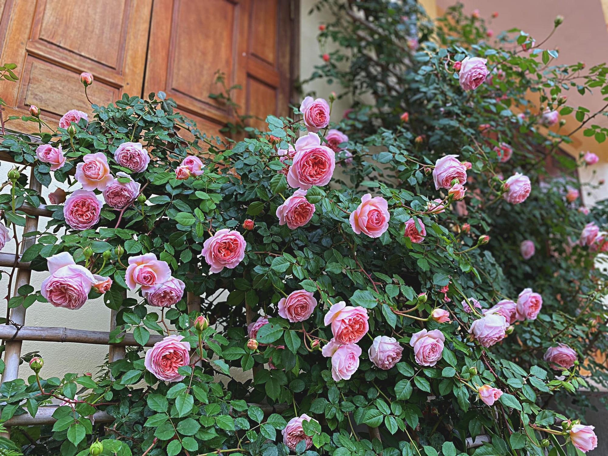Bí quyết cực dễ để chăm giàn hồng leo nở hoa ngút ngàn, đẹp như trời tây - Ảnh 8