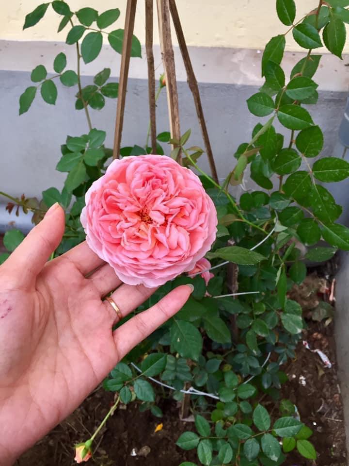 Bí quyết cực dễ để chăm giàn hồng leo nở hoa ngút ngàn, đẹp như trời tây - Ảnh 1