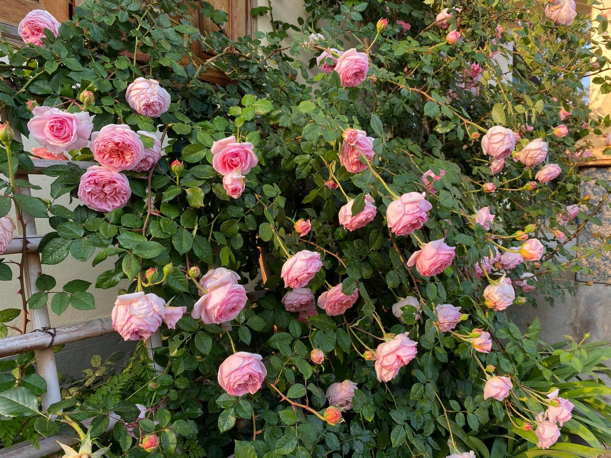 Bí quyết cực dễ để chăm giàn hồng leo nở hoa ngút ngàn, đẹp như trời tây - Ảnh 9