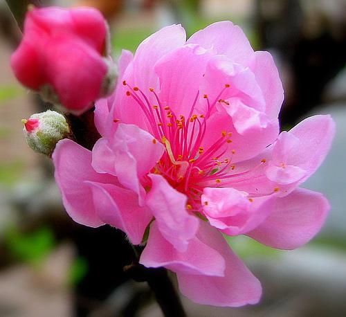 Sự tích hoa đào ngày tết