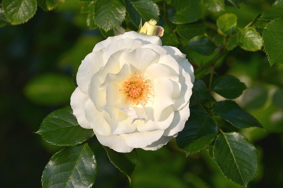 Tặng hoa hồng Valentine cho bạn gái và ý nghĩa của các loại hoa hồng