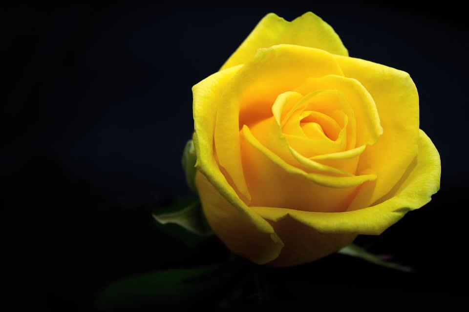 Tặng hoa hồng vàng vào ngày Valentine