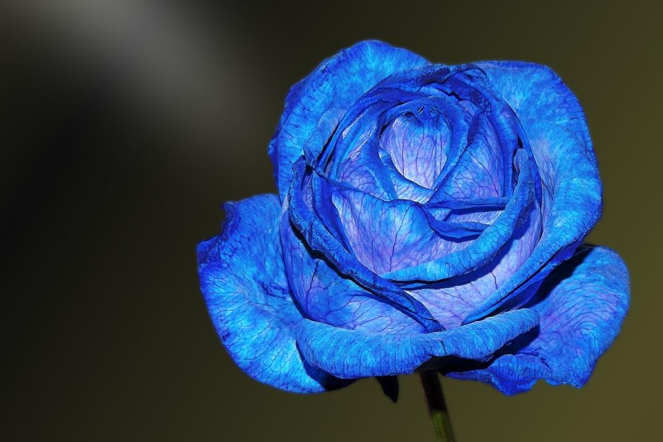 Tặng hoa hồng xanh vào ngày Valentine