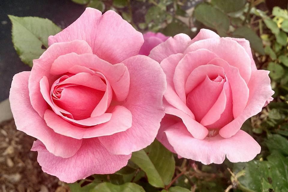 Tặng hoa hồng màu hồng vào ngày Valentine