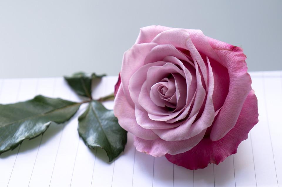 Tặng hoa hồng tím vào ngày Valentine