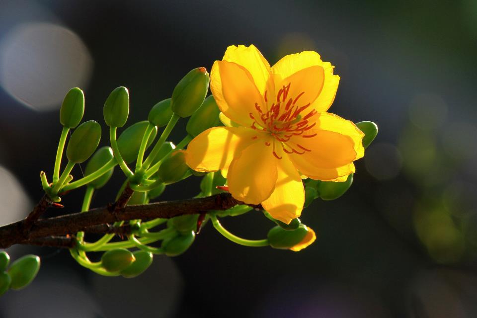 Ý nghĩa hoa mai trong ngày tết