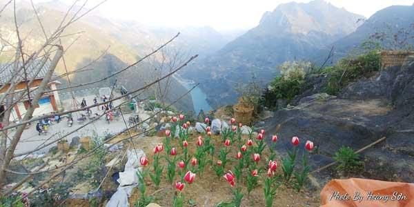 Ông bố người Tày 'liều' thuê cả đồi đá Mã Pì Lèng trồng hoa tulip khiến bao người trầm trồ - Ảnh 1