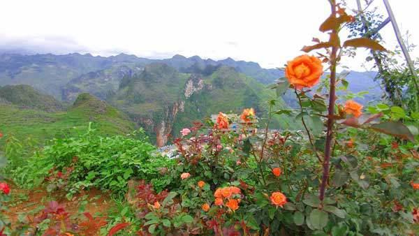 Ông bố người Tày 'liều' thuê cả đồi đá Mã Pì Lèng trồng hoa tulip khiến bao người trầm trồ - Ảnh 11