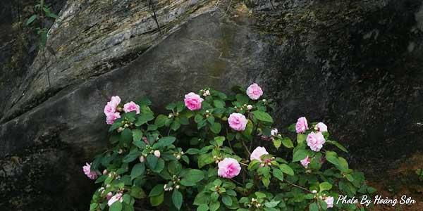 Ông bố người Tày 'liều' thuê cả đồi đá Mã Pì Lèng trồng hoa tulip khiến bao người trầm trồ - Ảnh 13