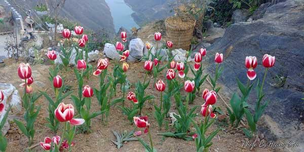 Ông bố người Tày 'liều' thuê cả đồi đá Mã Pì Lèng trồng hoa tulip khiến bao người trầm trồ - Ảnh 4