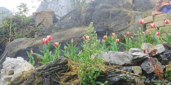Ông bố người Tày 'liều' thuê cả đồi đá Mã Pì Lèng trồng hoa tulip khiến bao người trầm trồ - Ảnh 5