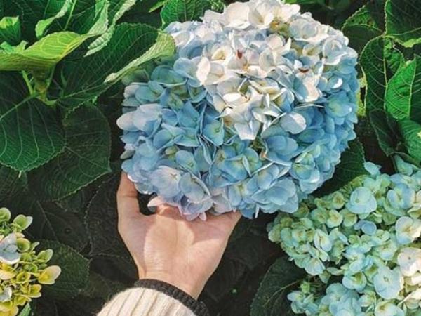 5 loại cây có hoa đẹp nhưng lại chứa đầy độc tố, đừng dại mang về trồng quanh nhà - Ảnh 3