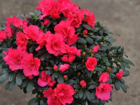 5 loại cây có hoa đẹp nhưng lại chứa đầy độc tố, đừng dại mang về trồng quanh nhà - Ảnh 5