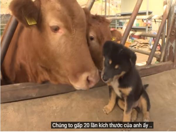 Cười ngất với chú chó tưởng mình là mẹ của bò, còn trộm thức ăn mang vào chuồng nhưng sốc nhất là phản ứng của bầy bò