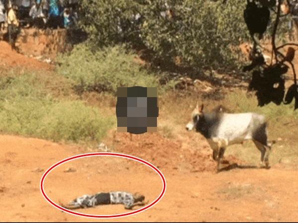 Thấy bò tót lao đến tấn công, thanh niên làm ngay hành động này để giữ mạng