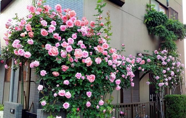 Gia đình giàu có thường trồng hoa ban công theo phong thủy thế nào để hút sạch tài lộc trong thiên hạ? - Ảnh 3