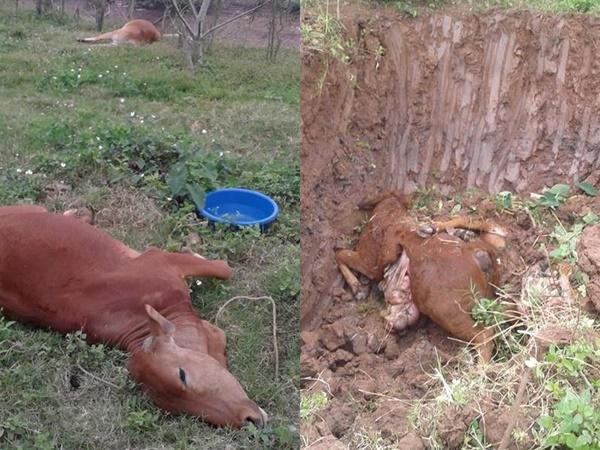 Nỗi đau của hai hộ gia đình khi 9 con bò bỗng lăn đùng ra chết