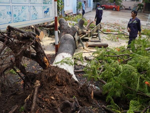 Nóng: Lại thêm một cây phượng bật gốc khiến 3 học sinh lớp 8 bị thương