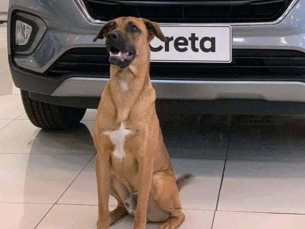 """Lượn lờ trước cửa showroom ô tô, chú chó được đích thân ông chủ mời về làm, đã thế còn có thẻ nhân viên đặc biệt đeo trước ngực """"oai như cóc"""""""