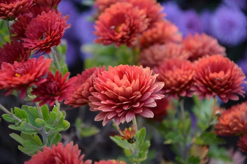 Kỹ thuật trồng hoa cúc tết để có chậu cúc rực rỡ chào xuân Mậu Tuất 2018