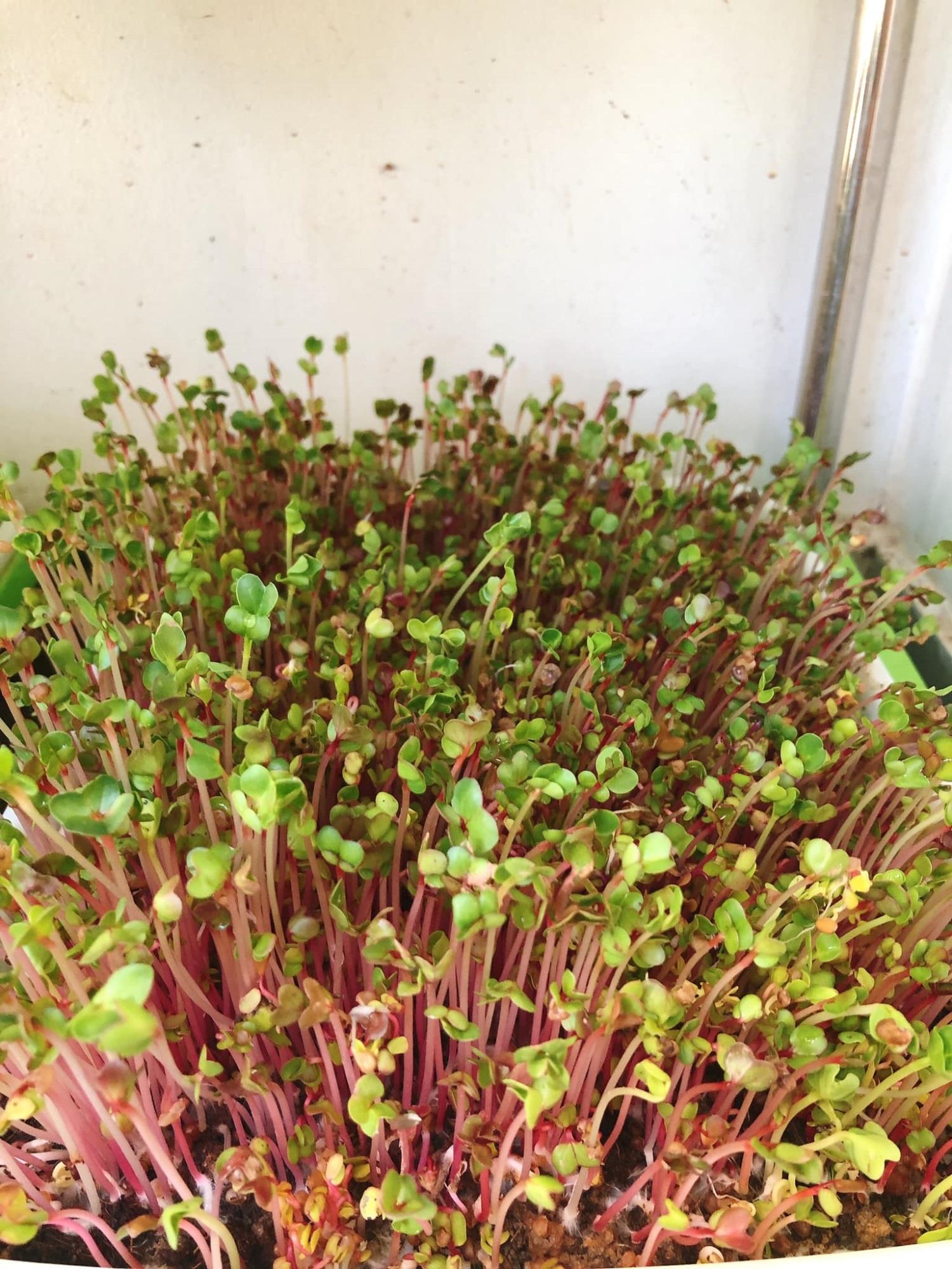 Mẹ nội trợ bật mí 'bí kíp' trồng rau mầm trong thùng xốp tốt um và 'dễ như ăn bánh' - Ảnh 5