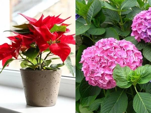 4 loại hoa đẹp nhưng có độc mà rất nhiều người thích bày trong nhà