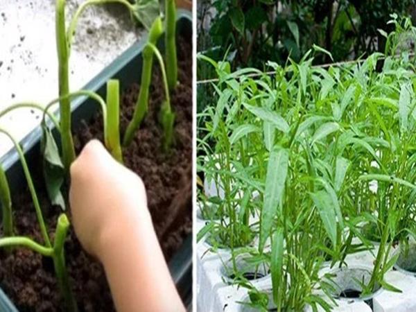 5 loại rau lấy cành cắm vào đất thôi cũng lớn phổng phao, sau 1 tháng cả nhà ăn không hết