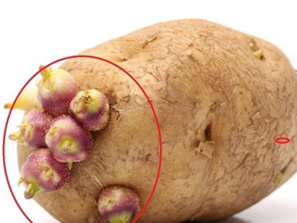 Những loại củ mọc mầm tuyệt đối không nên ăn