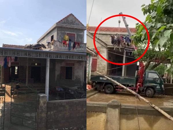 """2 chú trâu nằm yên trên mái nhà sau khi lũ rút và pha giải cứu """"dở khóc dở cười"""" của gia chủ"""