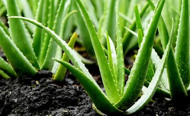 9 loại cây cảnh giải khí độc trong nhà, lọc sạch không khí ai cũng nên trồng quanh nhà - Ảnh 3