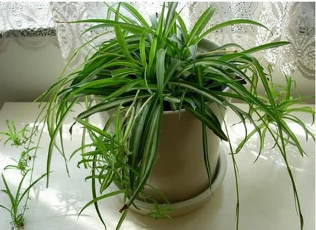 9 loại cây cảnh giải khí độc trong nhà, lọc sạch không khí ai cũng nên trồng quanh nhà - Ảnh 4